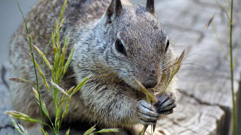 An industrious squirrel demonstrates the basics of basket weaving at the visitors center in Yosemite National park, California