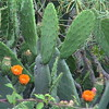Blooming cacti in the Canary Islands.