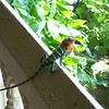 A colourful creature joins us for breakfast in rural Sri Lanka.