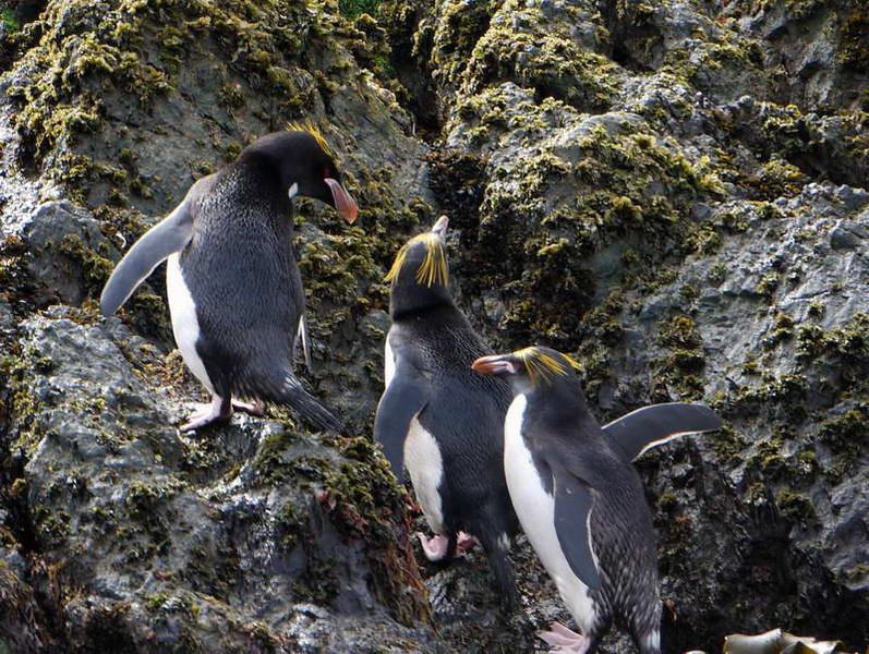 Macaroni penguins on the rocks at Elsehul, South Georgia, British Sub-Antarctic Territory