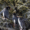 Macaroni penguins on the rocks at Elsehul, South Georgia, British Sub-Antarctic Territory