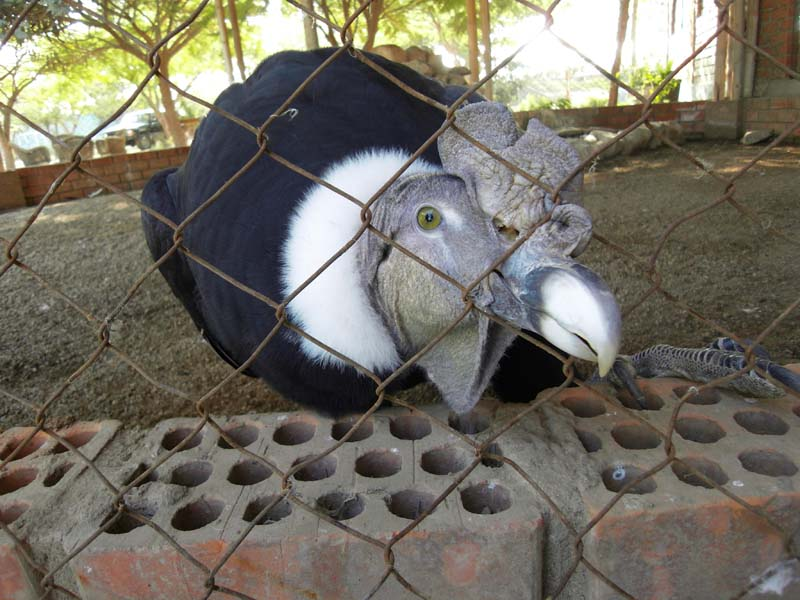 A curious captive condor captivates our own curiosity in a compound near Nazca, Peru.