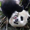 Hungry panda in Chengdu.
