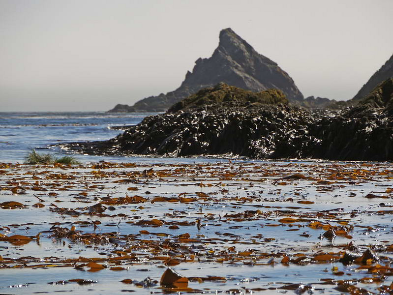 Kelp beds at Elsehul, South Georgia, British Sub-Antarctic Territory
