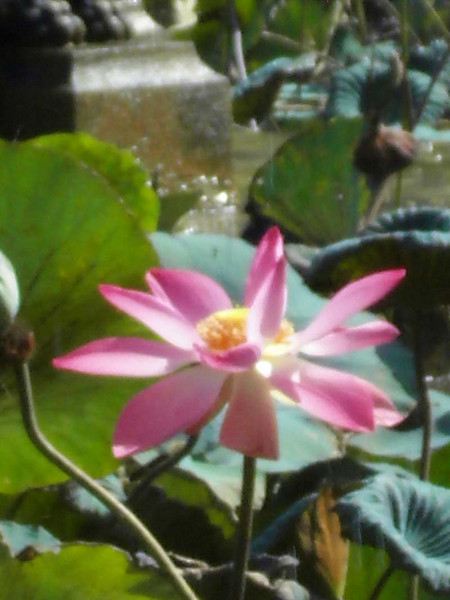 Perfect water lily in Udaipur, Rajastan India.
