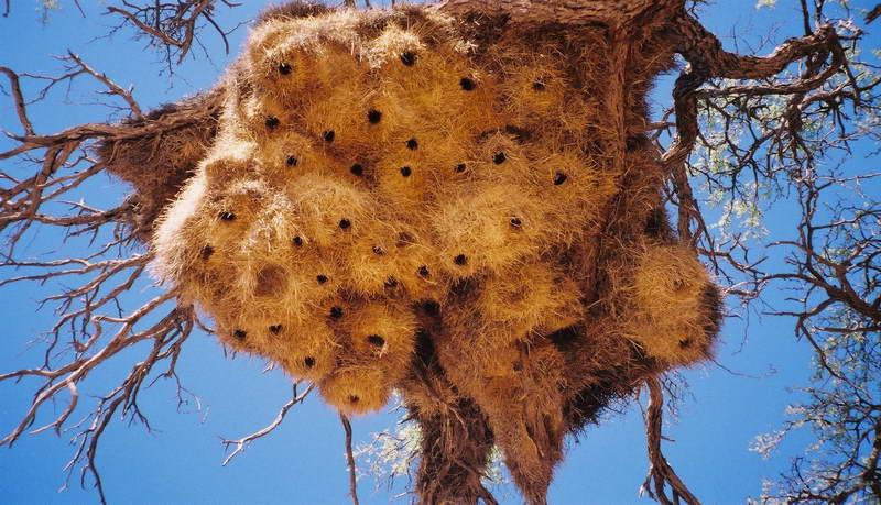 Swallows' nests near Sossusvlei