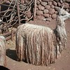 Rare llama breed poses for the paparazzi at the cooperative in the Urubamba valley, Peru.