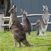 Kangaroos on the ranch at the eco-resort along the Great Ocean Road, Victoria, Australia