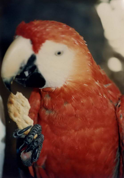 Rufus - everyone's favorite scarlet macaw in his heyday at Fairways in the late 80's