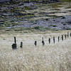 A curious absence of sheep on New Island, Falkland Islands