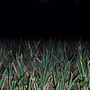 "Green onions growing feverishly like ""pod people' in the bright full moonlight on the eve of Yadnya Kasada, East Java Indonesia."