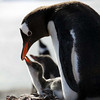 Gentoo penguin and chick on Cuverville Island, mainland Antarctic peninsula