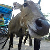 Curious emaciated bovine in Bharatpur, Rajastan India.