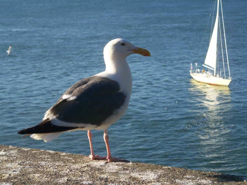 Lone seagull surveys the bay from Alcatraz