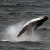 Breaching whale while at sea between South Georgia, British Sub-Antarctic Territory & the Falkland Islands