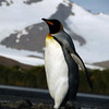 King penguin marching uphill to the colony on the Salisbury Plain, South Georgia, British Sub-Antarctic Territory