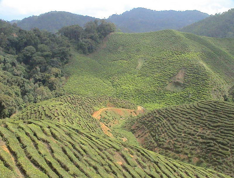 Tea plantations cover the hilltops of Cameron Highlands north of Kuala Lumpur Malaysia
