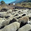 Sheep crossing in the Urubamba valley, Peru.