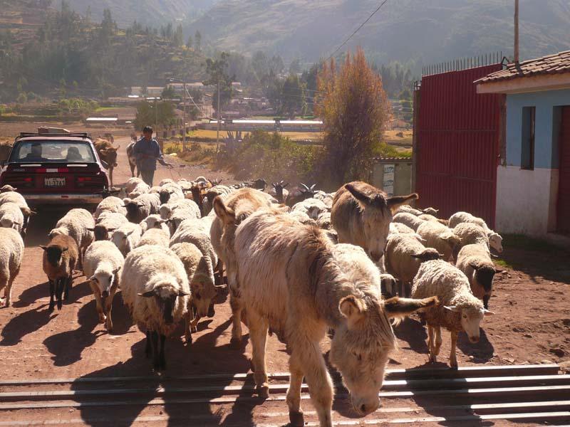 Sheep crossing in the Urubamba valley, Peru.