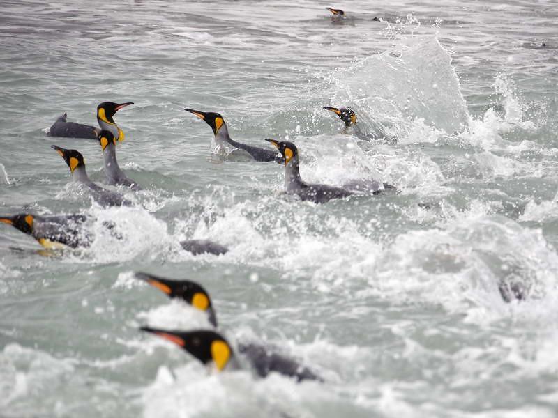 King penguins in the water at the Salisbury Plain, South Georgia, British Sub-Antarctic Territory