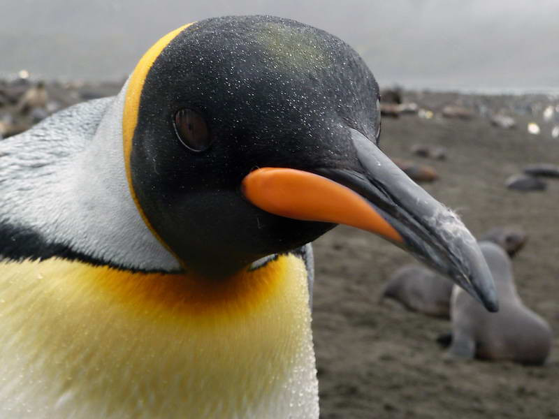 King penguin on the beach in the rain at Right Whale Bay, South Georgia, British Sub-Antarctic Territory