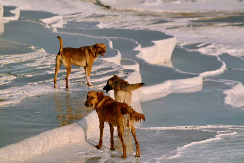 Dogs play among the calcium pools of Pamukkale at sunset in central Turkey.