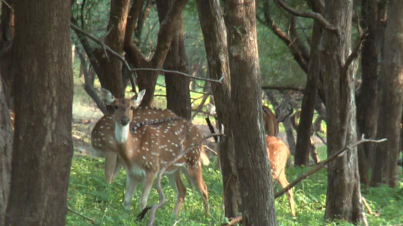 Forest deer in Ranthambhor, Rajastan India.