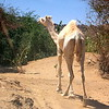 A lost camel in the desert on the way back to Tamarasset, Algeria