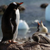 Hungry Gentoo penguin chick at Neko Harbour, mainland Antarctic peninsula