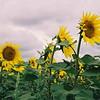 Striking sunflowers on the road between Bratislava, Slovak Republic and Vienna, Austria.