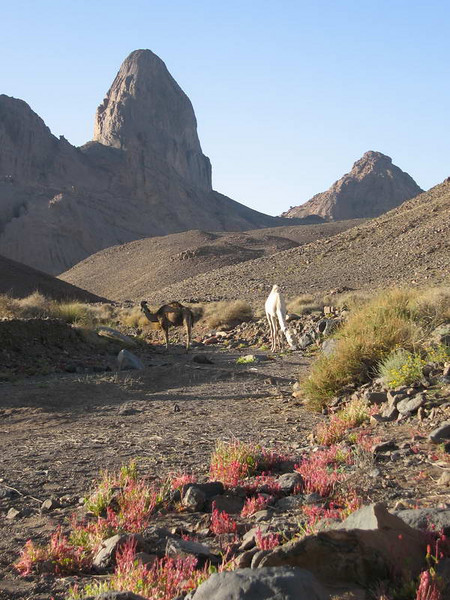 Camels in the valley approaching the summit of the Hogar mountains in Algeria