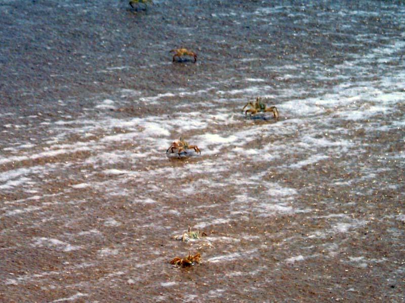 Crabs storm the beach in Pointe Noire, Congo Brazzaville.