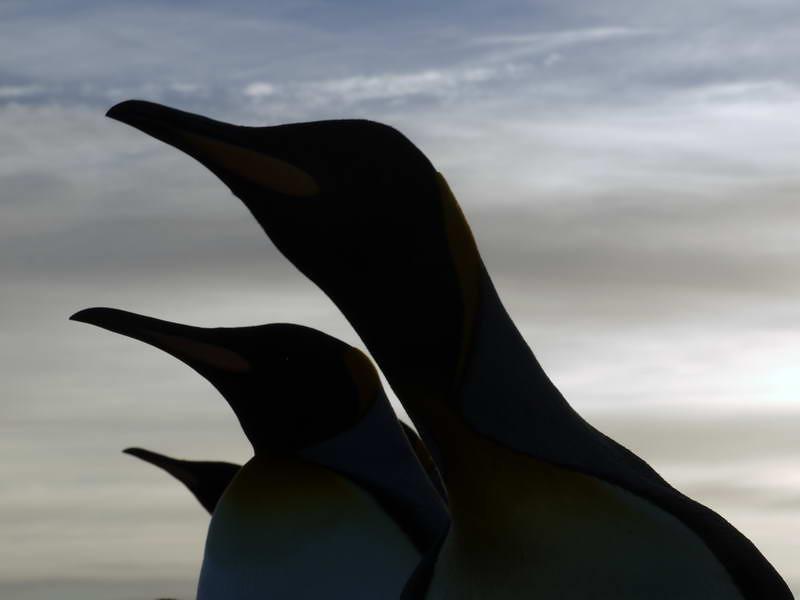 King penguin silhouettes on the beach at sunrise on the Salisbury Plain, South Georgia, British Sub-Antarctic Territory