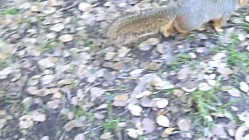 Squirrel attack on the University of California campus at Berkeley, California!