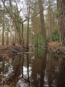 Forest Puddle Reflection