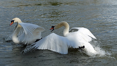 Two mute swans fighting by the river Thames in Windsor