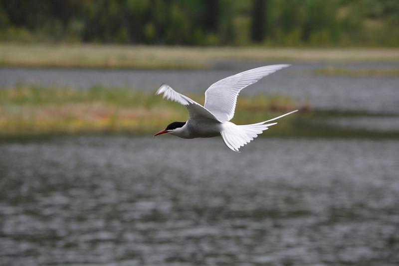 Arctic Tern Hovering, Tern Lake, Kenai Peninsula, Alaska