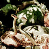 Biodiversity Group, Crotalus mollossus combat 3