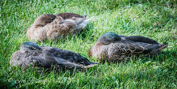 Three Mallards Resting