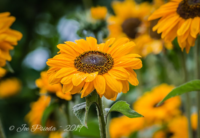 Black - Eyed Susan