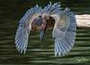 Shazaam! The Green Heron Strikes Again!