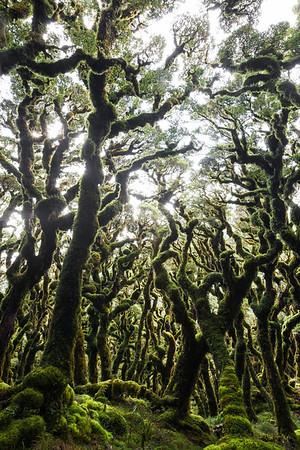 Stunted montane beech forest, Tararua Forest Park