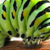 Fatterpillar