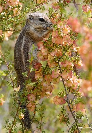 Round-tailed Squirrel