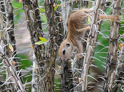 Round-tailed Squirrel- Wildlife Division Finalist 2015