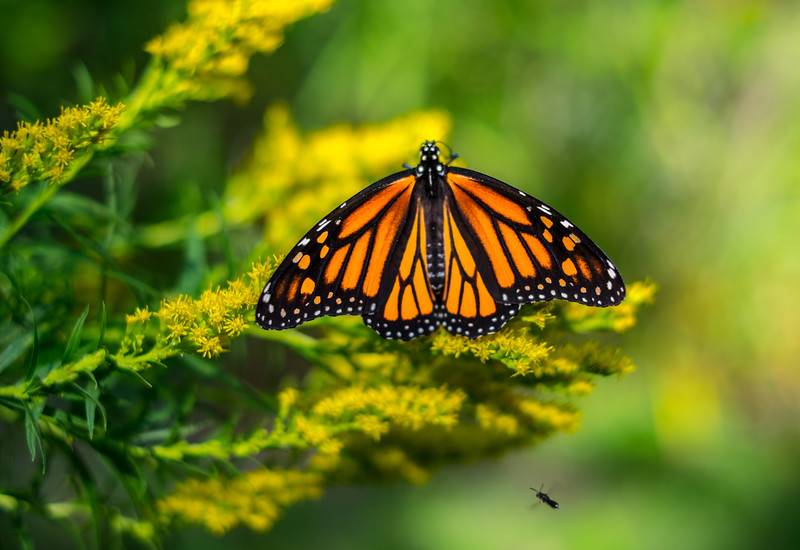 Monarch and fly