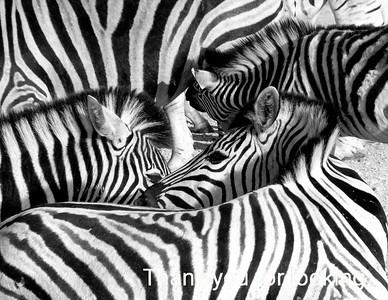 Monochrome Zebra: Namibia