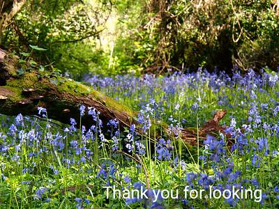 Bluebells:  Prior's Wood : Bristol