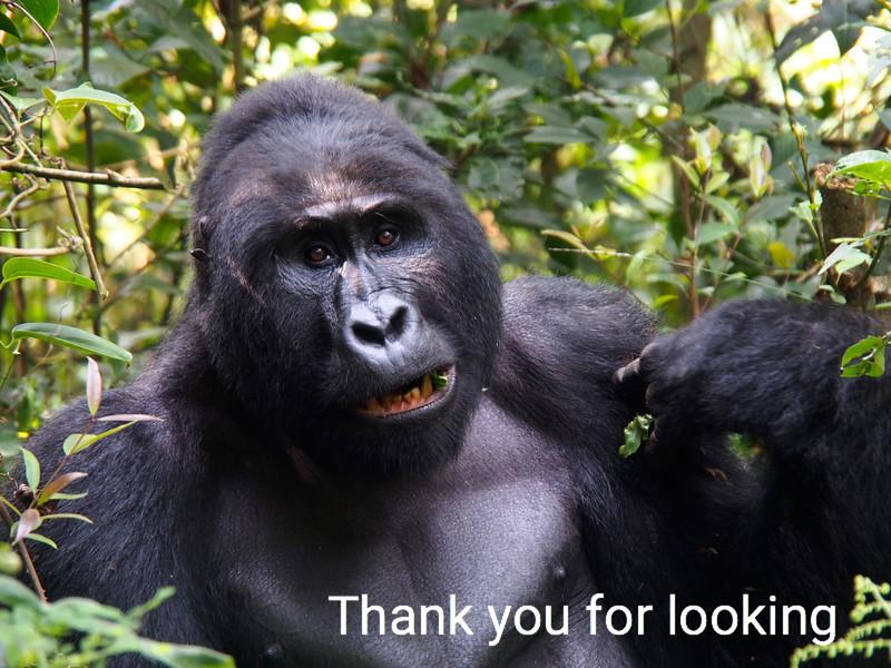 Silverback Gorilla:  Bwindi Forest: Uganda