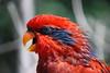 Red Wonder, Denver Zoo